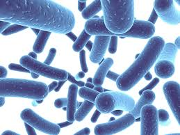 probiotic bacteria magnified